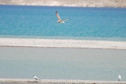 Brown Headed Gull seen at Pangong Tso; Photo: Abhishek Kaushal