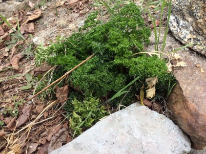 Parsley snuggled up around some rocks and soil; Photo: sanjay mukherjee