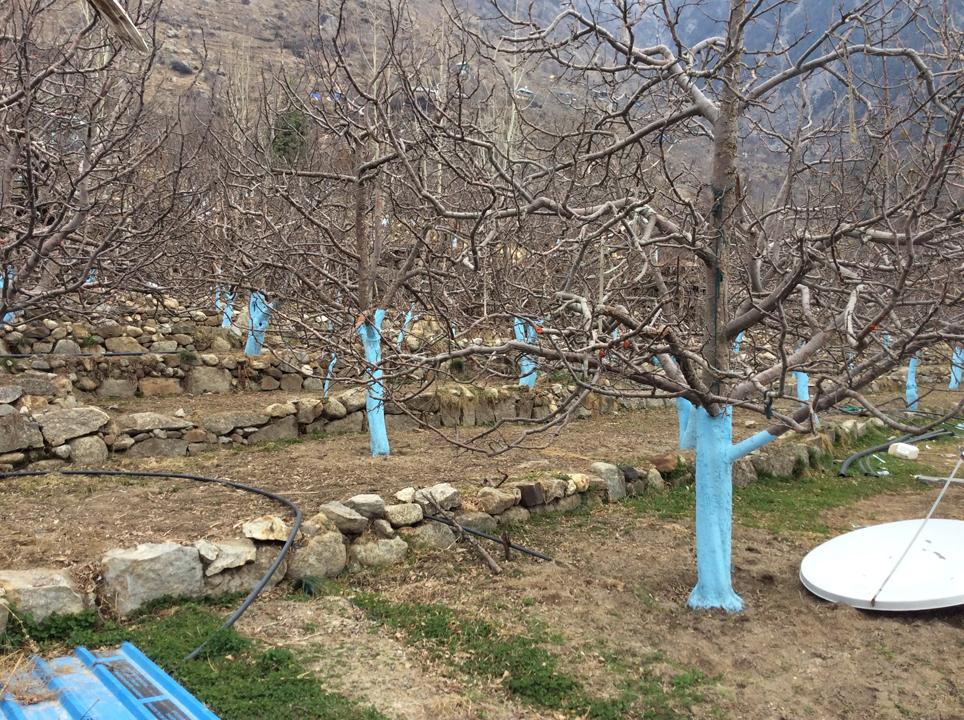 One of the many apple orchards; Photo: sanjay mukherjee
