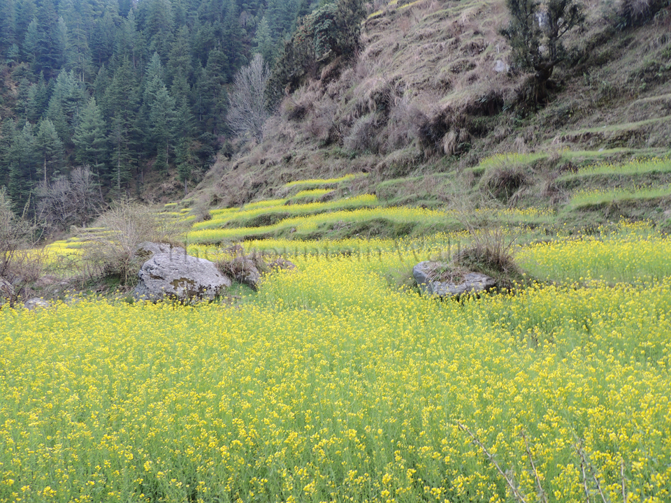 Refreshing benefit of visiting Barot in spring; Photo: Abhishek Kaushal