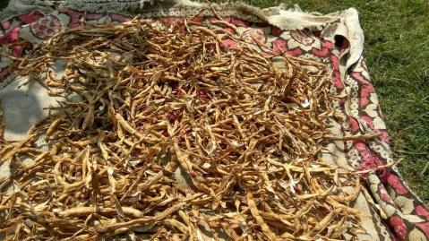 Rajma with husk waiting for their processing; Photo: Ameen Shaikh