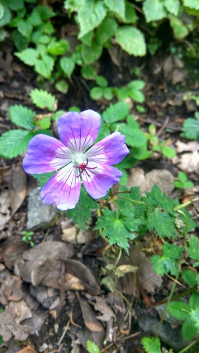 Himalayan Flora Series 4 - 06