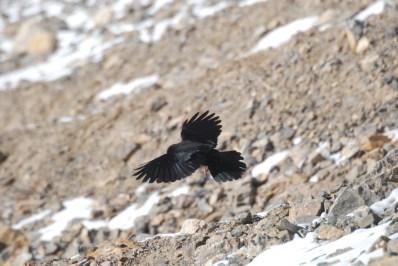 Alpine Chough; Photo: Abhinav Kaushal