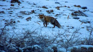Red Fox during winters in Spiti, striking a quick pose for the camera; Photo: Abhishek Kaushal