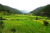Rice paddy fields on the way to Chimi Lhakhang, Bhutan; Photo: Swarjit Samajpati