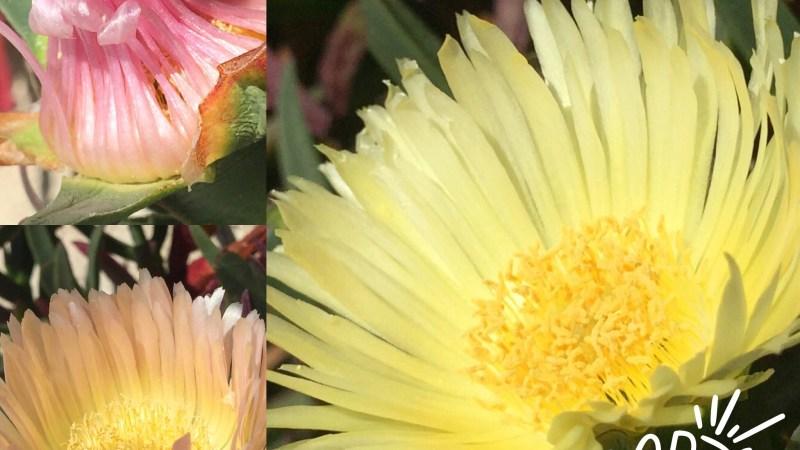 Plaisir des yeux: la fleur qui aime le soleil!