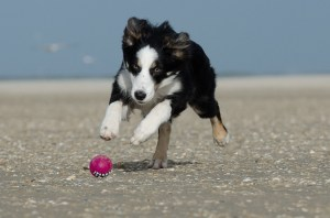 A Border Collie Running And Playing