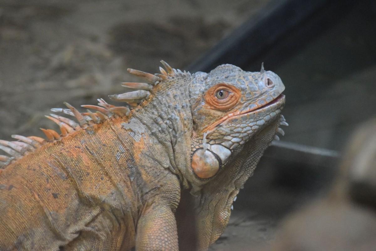 Iguana at Amazona Zoo