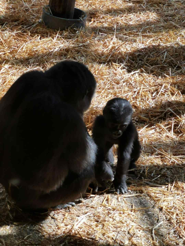 baby gorilla at Chessington