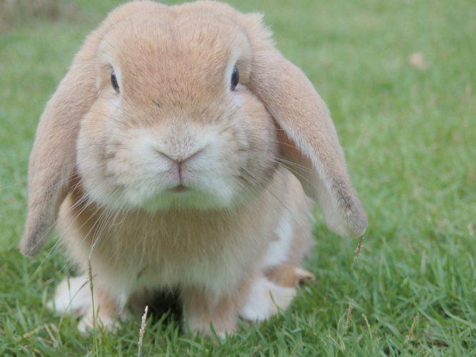 rabbit advocacy
