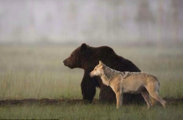 Bear-wolf-650-650x425