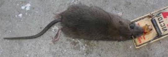 Rats 3 trap