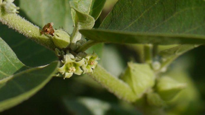 Ashwagandha the new HCQ? Modi govt begins study to see if herb keeps coronavirus away