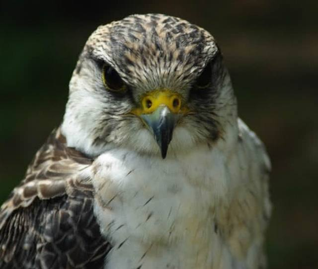 With A Top Speed Of  Mph Peregrine Falcon Is The Fastest Living Creature On Earth It Is A Most Common Bird Of Prey That Found In Every Continent Except