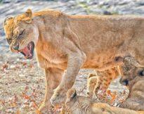 lion314 43