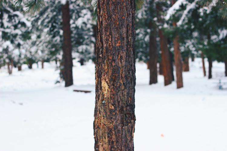 Pione Forest on Mount Baldy in Apache-Sitgreaves National Forest