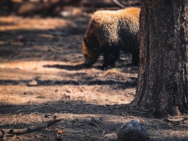 A brown bear forages in Kaibab National Forest.