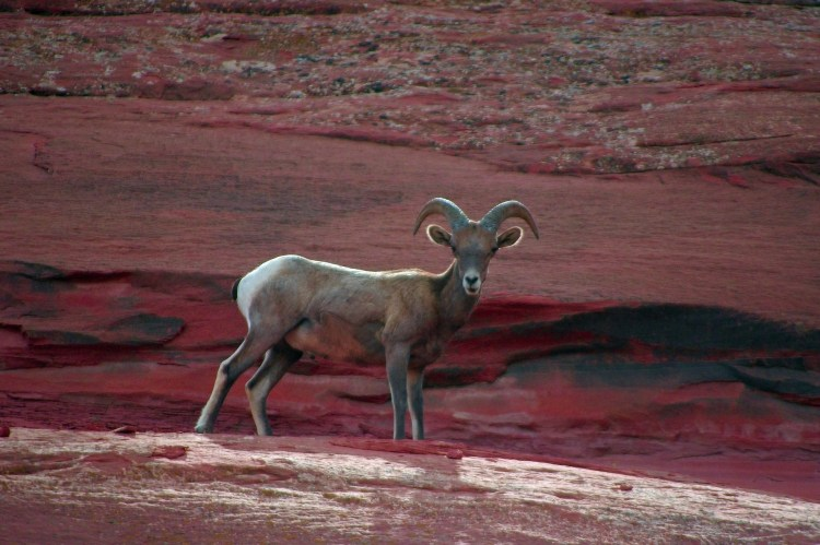 Desert Bighorn Sheep, rugged residents of Angeles National Forest