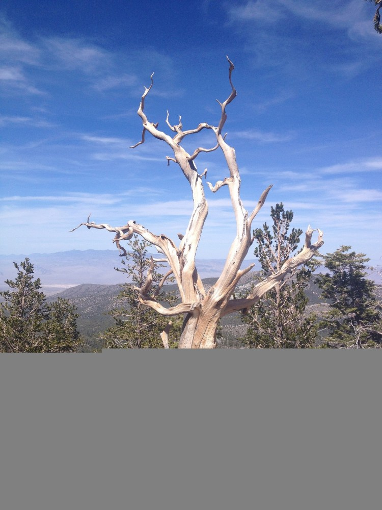 A dead bristlecone pine tree in Inyo National Forest