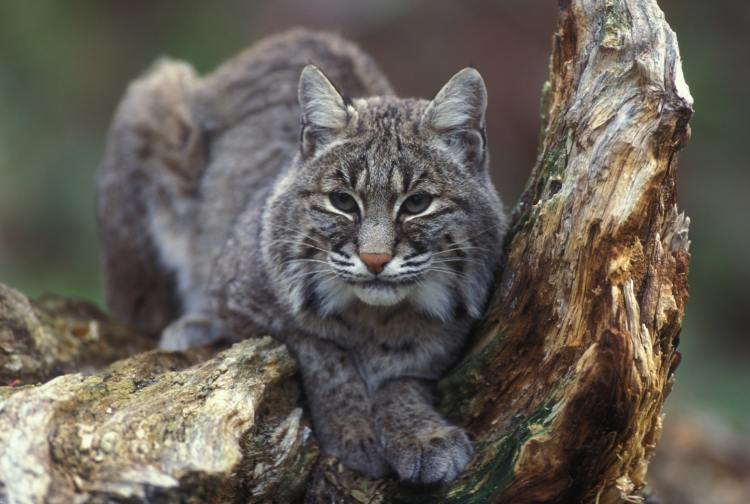 Bobcat - a common resident of Lassen National Forest