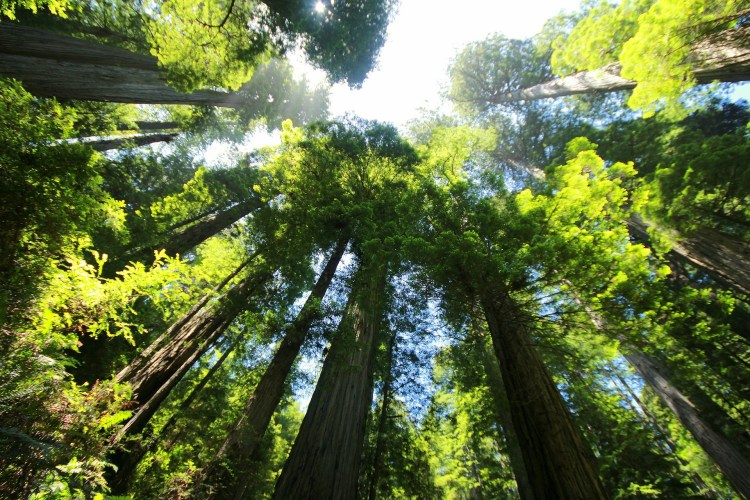 Redwood trees - a popular sight in Klamath National Forest