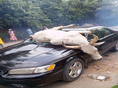 Family escapes death as stray cow smashes car