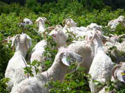Baa-tany project goats