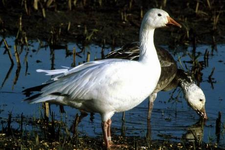 Goose dilemma