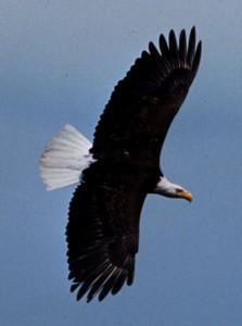 Adult bald eagle USF&W photo