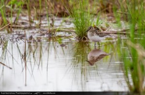 This least sandpiper found in a puddle in Bryson City may have been an omen for the count. Ed Kelley photo