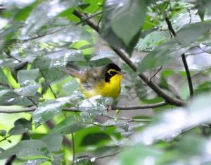 Kentucky warbler - wikimedia commons photo