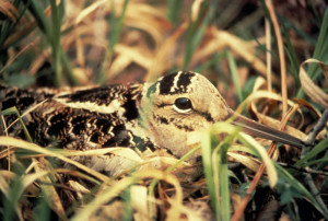 American woodcock - creative commons photo