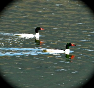 Drake common mergansers - Robert Johnson photo