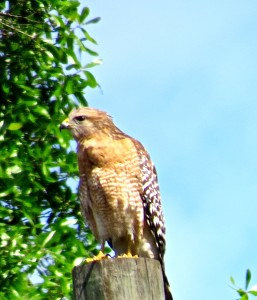Adult red-shouldered hawk, Florida race - note pale gray face. Don Hendershot photo