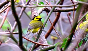 Hooded warblers were seen during the Pilgrimage - Don Hendershot photo
