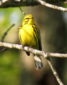 Prairie warbler Don Hendershot photo