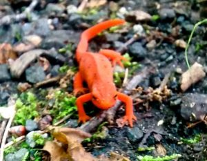 Red eft - Don Hendershot photo