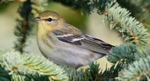 Fall blackpoll warbler winner of the long-distance award for warblers. Migrates more than 1,500 miles one-way. Creative commons photo