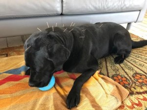 dog acupuncture for dog leg strain