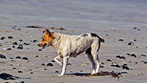 Dog limping