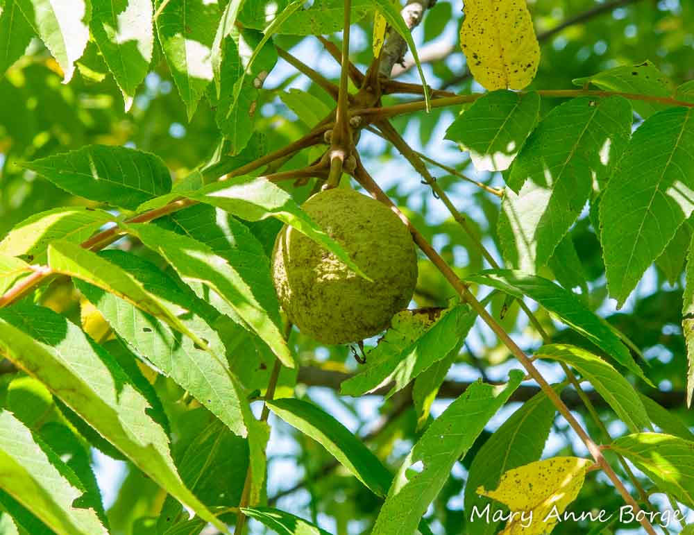 In Praise of Black Walnut Trees The Natural Web