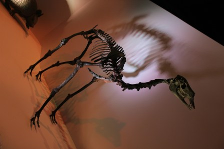 Mounted fossil skeleton of the extinct camelid Paleolama on display at the Houston Museum of Natural Science in Houston, Texas Photo Credit Zack Neher