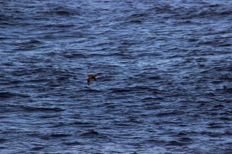 09 A wild black footed albatross Phoebastria nigripes soars above the waves between Mexico and Hawaii in the Pacific Ocean as viewed from the deck of the MV World Odyssey on Semester at Sea Photo Credit Zack Neher 02