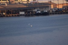 A pair of white terns (Gygis alba) fly around in Honolulu Harbor at the cruise terminal as viewed from the deck of the MV World Odyssey on Semester at Sea.