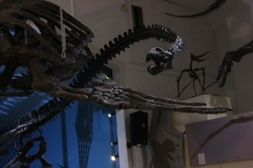 Mounted skeleton of the plesiosaur Elasmosaurus on display at the Black Hills Institute of Geological Research, Inc. in South Dakota with Mikaila Bloomfield Seamus Kieran and Emily Barber Photo Credit Zack Neher.jpg