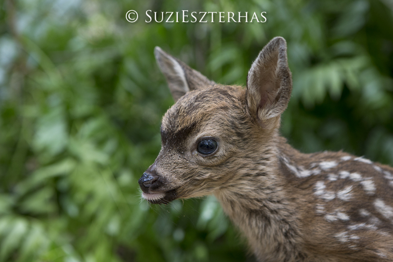 Griff's Wild Tips: Fawn Nappers!