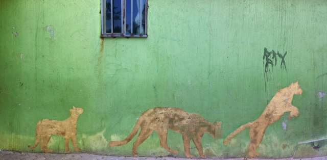 Pumas stalk across a wall in Medellín, Colombia. Photo: David Maddox