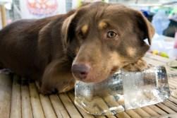 Dog_ice1