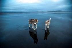 Dog_ice6