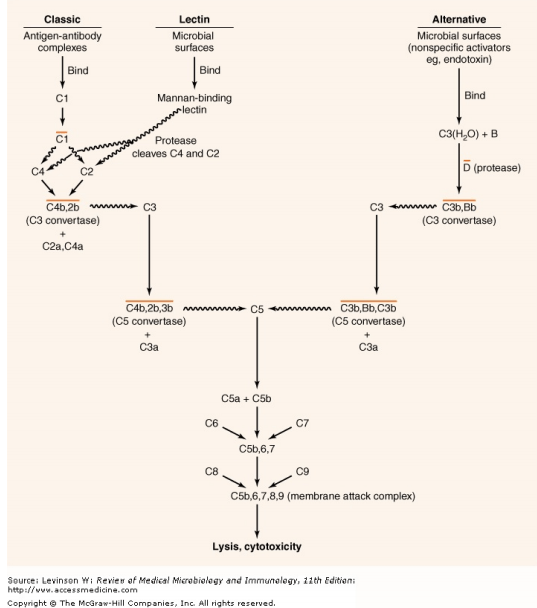 The activation of the complement system.